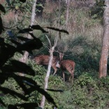 deer at bis hazar tal