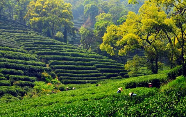 tea plantation near Hangzhou source: http://www.mildchina.com/hangzhou-tour/hangzhou-family-tour.html